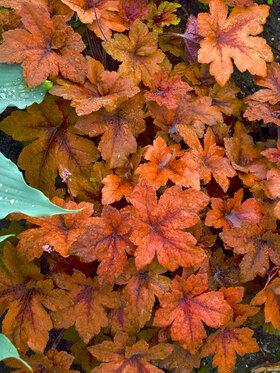 Photo of Heucherella Pumpkin Spice