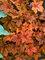 Heucherella Pumpkin Spice
