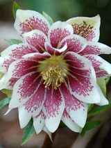 Helleborus Winter Jewels™ Painted Doubles