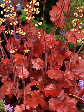 Root beer colored, copper red bronze foliage with creamy yellow flowers.