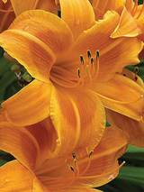 Hemerocallis Rocket City
