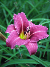 Hemerocallis Raspberry Pixie