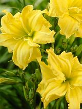 Hemerocallis Double River Wye