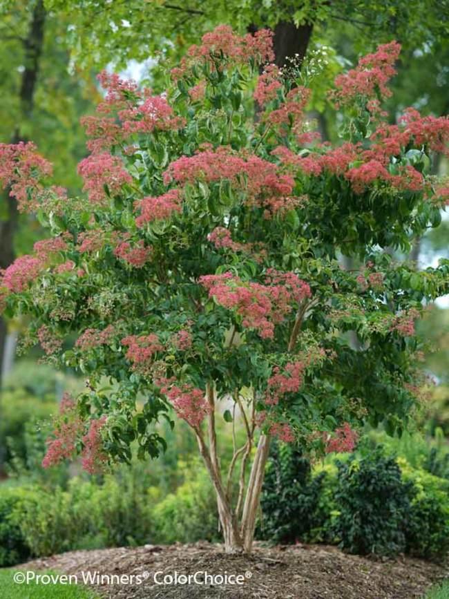 Heptacodium Temple of Bloom