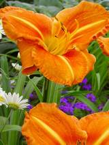 Hemerocallis Tuscawilla Tigress