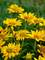 Heliopsis Tuscan Gold