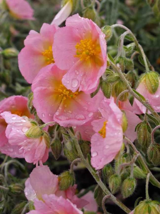 Helianthemum Wisley Pink