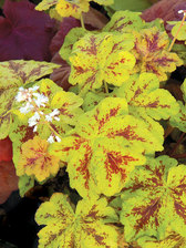 Heucherella Yellowstone Falls