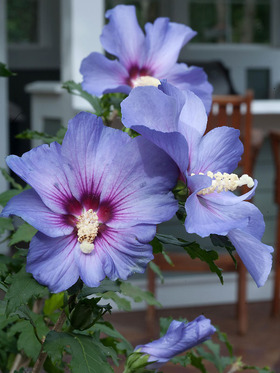 Huge, purple-blue blossoms with magenta and white centers.