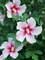 Hibiscus Paraplu Pink Ink