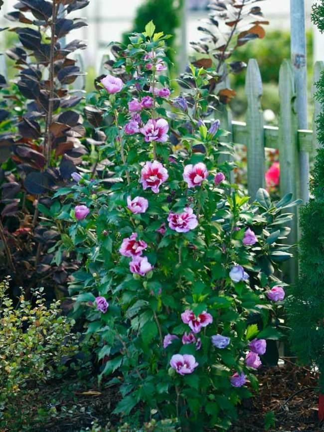 Hibiscus Purple Pillar
