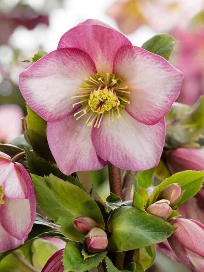 Helleborus Ice N' Roses Rose