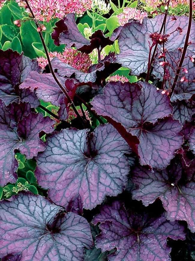 Heuchera Northern Exposure Purple