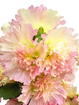 Hollyhock Apricot