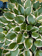 Hosta Lakeside Baby Face