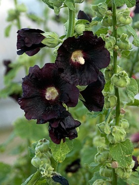 Deepest black purple single blooms