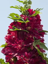 Hollyhock Spring Celebrities Crimson