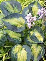 Hosta Heat Wave