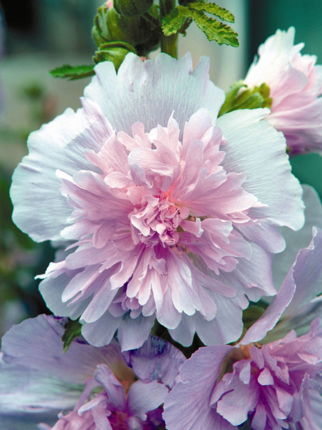 Hollyhock Spring Celebrities Lilac