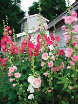 Hollyhock Old Farmyard