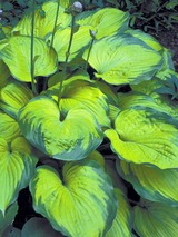Hosta Old Glory