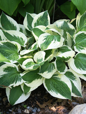 1997 Hosta of the Year, pure white margins