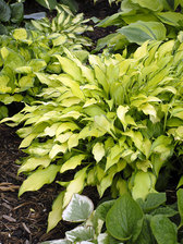 Hosta Pineapple Upsidedown Cake