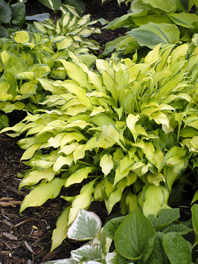 A unique look for a Hosta.