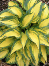 Hosta Remember Me