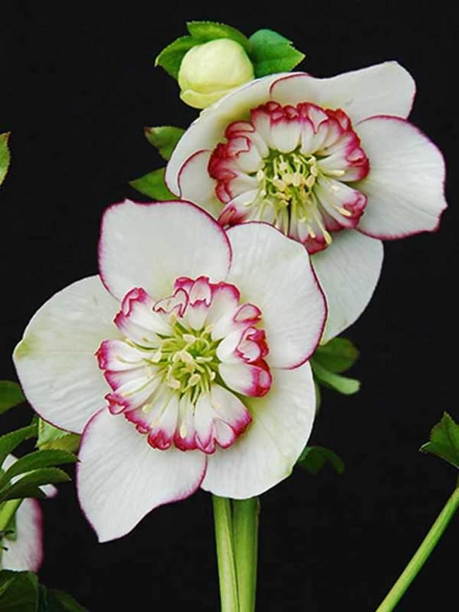 Helleborus Picotee Pearl