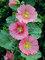 Hollyhock Radiant Rose