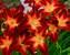 Hemerocallis Ruby Spider
