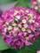 Hydrangea Wee Bit Giddy