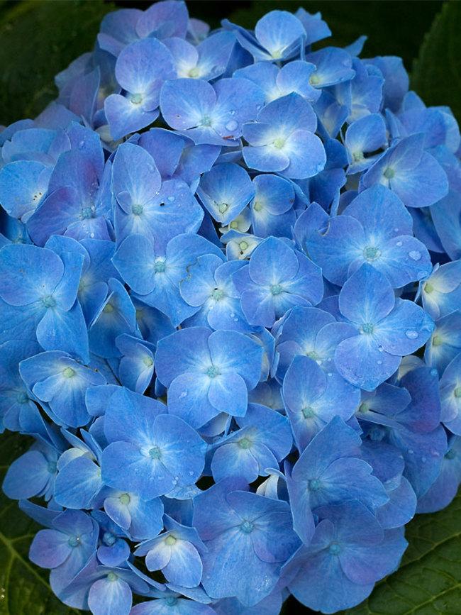 Hydrangea Blue Jangles