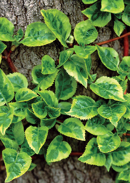 "VINE.  Variegated leaves glow yellow.  4"" pots."