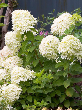 Hydrangea Little Lime Bluestone Perennials
