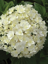 Hydrangea Double Delights Peace
