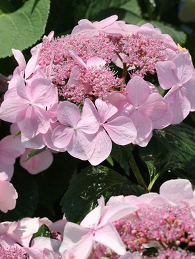 Rich pink central nuggets surround soft pink petals.