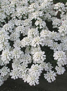 PERENNIAL CANDYTUFT. White blooms