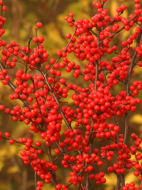 Masses of scarlet red berries