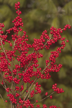 SHRUB - Red berry clusters delight birds and fill holiday arrangements