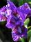 Iris Banbury Ruffles