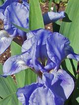 Iris Blue Denim
