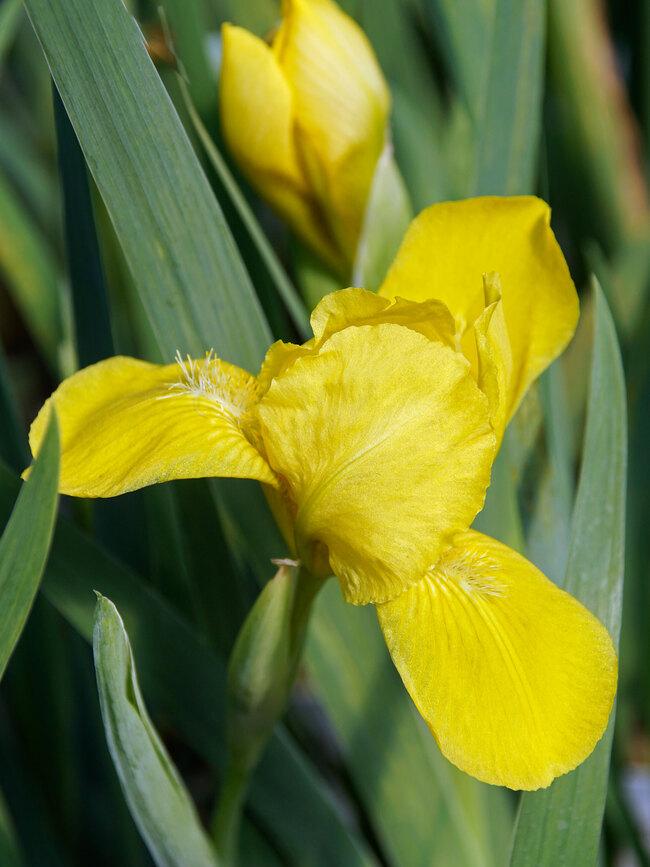 Iris Brassie
