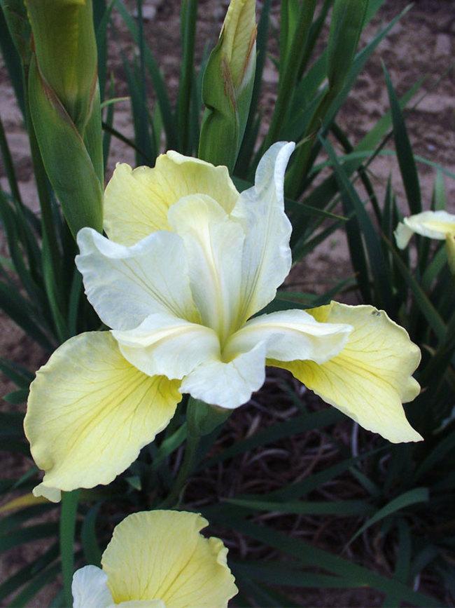Iris Butter-&-Sugar