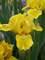 Iris Cache of Gold
