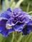 Iris Concord Crush