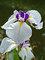 Iris Fortune