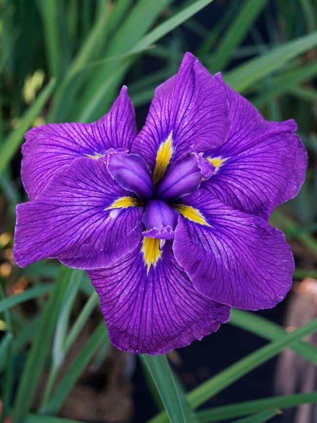 Iris Happy Awakening