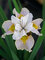 Iris Lemon Veil